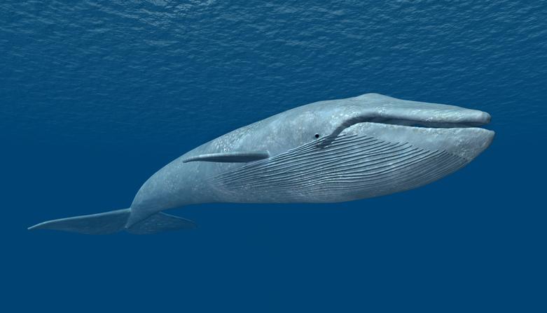 Ballena azul oceanos