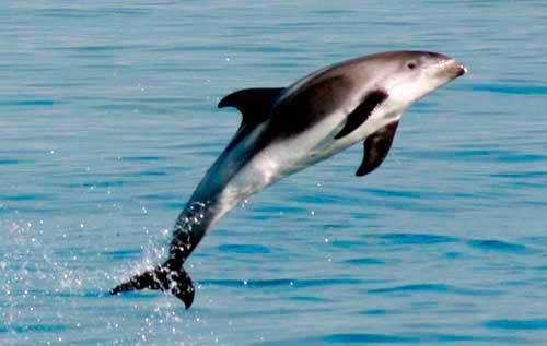 Delfín de cabeza blanca oceanos