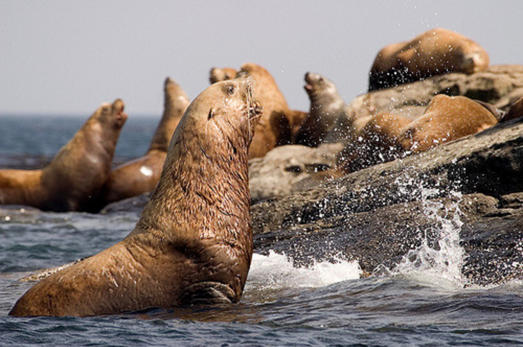 León marino de Steller oceanos