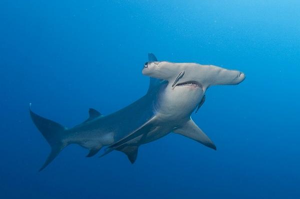 Tiburón martillo gigante oceanos